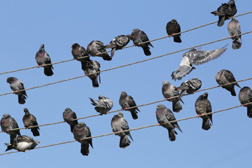 Pigeons, who live power lines