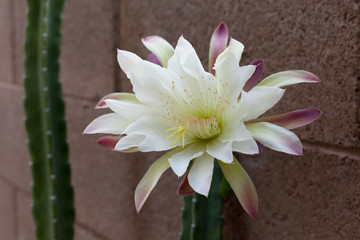 Arizona most popular garden cactus without thorns blooming in the night and early morning hours; close up