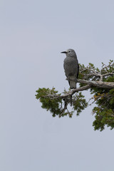 Clarks Nutcracker bird on evergreen branch