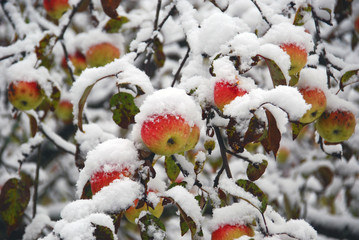 Delicious winter ripe apples grow on the tree and decorate the snowy garden. The beauty of the Northern nature