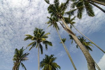 beautiful nature, coconut tree over cloudy and blue sky.