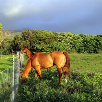 Horses in Maui