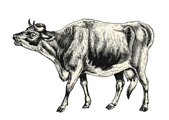 vintage animal engraving / drawing: cow - vector design element
