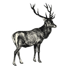vintage animal engraving / drawing: deer - vector design element