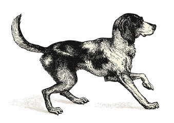 vintage animal engraving / drawing: dog - vector design element