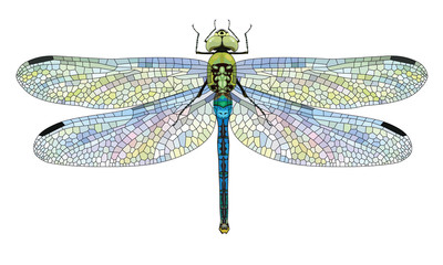 Dragonfly Aeschna Viridls with colorful wings beautiful