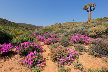 Landscape of brightly colored wild flowers and quiver tree, Namaqualand, Northern Cape, South Africa.