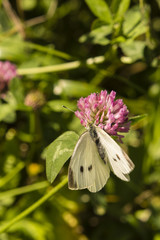 Cabbage white butterfly on a flower.