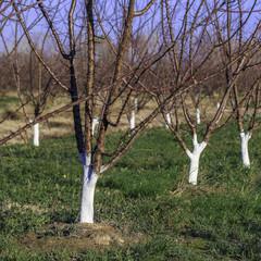 traitement à la chaux des troncs d'abricotiers