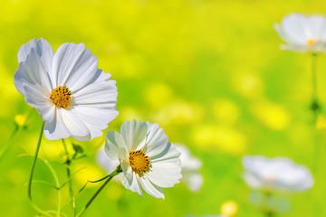 満開の白いコスモスの花