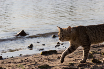 cat walking along the beach,  sunny day