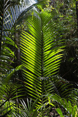Giant ferns in the jungles of Sumatra, Indonesia.