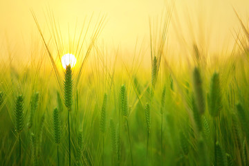 Champ de blé au soleil levant