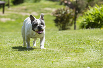 French Bulldog - Canis lupus familiaris