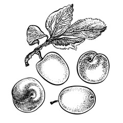 Plums. Vector hand drawn graphic illustration. Sketchy style.