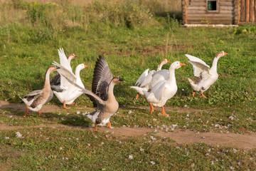 geese running on grass