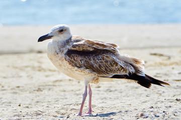 Симпатичная сизая чайка на берегу моря летним днем