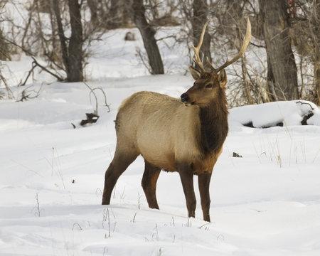 Wyoming Bull Elk