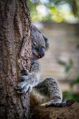 Sleeping koala on branch