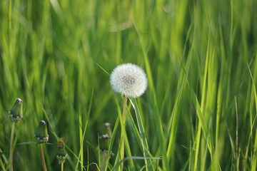 Dandelion in the Grass. Spring. Green.