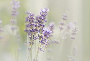 Lavendel ( Lavandula ) im zarten Licht