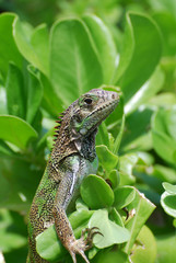 Brown Iguana in the Top of a Shrub