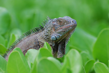 Gorgeous Face of a Brown Lizard