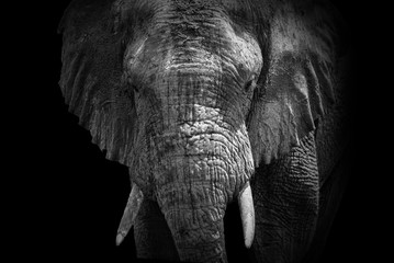 African Elephant of Rwanda
