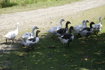 geese are on pasture
