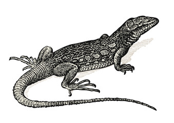 vintage animal engraving / drawing: lizard - retro vector design element