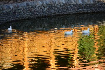 Wild geese in natural habitat, Armenia