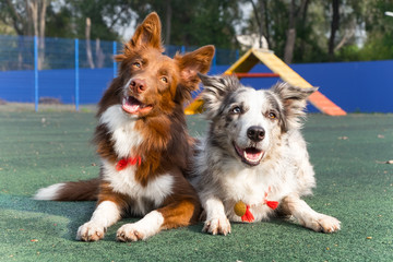 Two purebred dogs (border collies). They are companion.