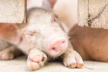 Newborn piglets sleeping with mother at pig breeding farm