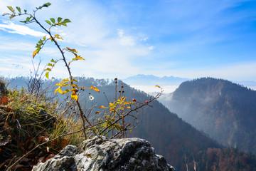 Wild rose bush on Sokolica mountain in Pieniny mountains