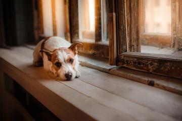 Dog Jack Russell Terrier lying on a window sill near the wooden window