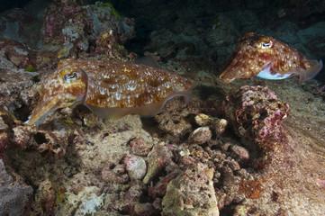 Mating Cuttlefish 6