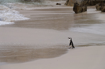 African penguins at Boulder Beach , South Africa