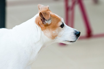 Jack russell terrier profile