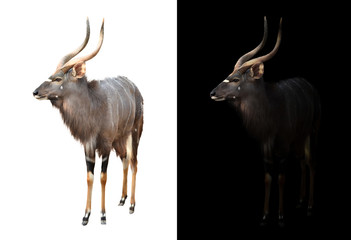 Wall Mural - male nyala on dark and white background