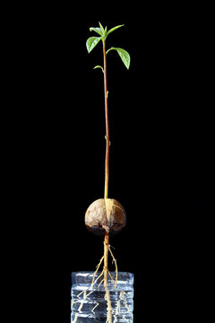 Avocado sprout and root in reuse plastic bottle, black background.