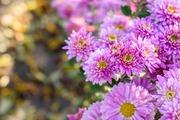 Pink chrysanthemum flowers in garden with copy space. Fall flowers background