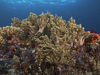 Finger leather coral colony, Fingerlederkorallen Kolonie
