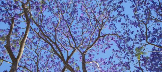 Colourful jacaranda tree in bloom in Brisbane, Queensland.