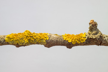 Yellow lichen on dry branch macro view on white blurred background