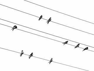 swallows on a wire. black and white photo