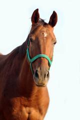 Head shot of a beautiful chestnut stallion on white background