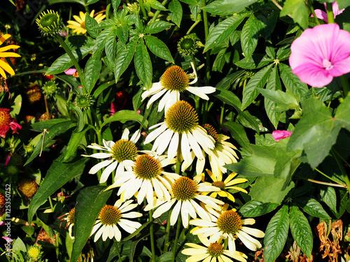echinacea purpurea 39 alba 39 white coneflower stock. Black Bedroom Furniture Sets. Home Design Ideas