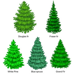 Set of christmas vector tree like fir or pine Blue spruce for New year celebration without holiday decoration, evergreen xmas plants