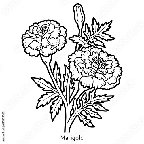 Marigold Flower Line Drawing : Marigold flower coloring pages