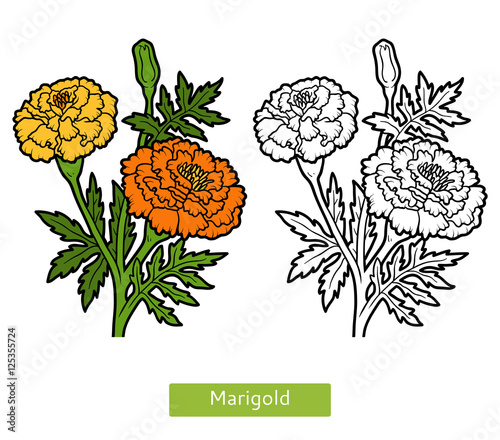 Coloring Book Flower Marigold